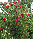 Archway Rose Flower