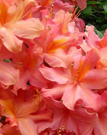 buona notte dans image bon nuit, jour, dimanche etc. azalea-flower-closeup