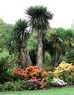 Coloured Azaleas Cordyline
