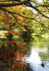 Duck Pond Autumn Tree