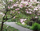 Magnolia Tree Path