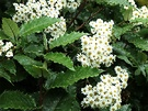 Olearia Holly Shrub
