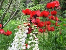 Red Poppies Delphiniums