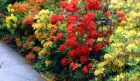 Red Yellow Azaleas
