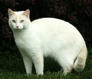 Cat Beautiful White