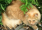 Cat Ginger Angelica