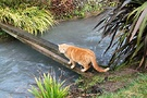 Ginger Cat Plank