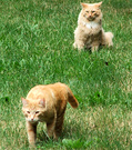 Ginger Cats Lawn