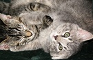 Grey Tabby Kittens