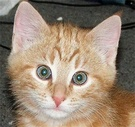 Percy Ginger Kitten