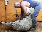 Sheep Shearer Woolly