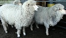 Three Sheep Woolly