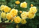 Yellow Roses English
