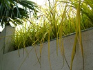 Carex Yellow
