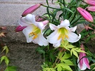 White Pink Lilies