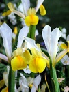Yellow White Iris