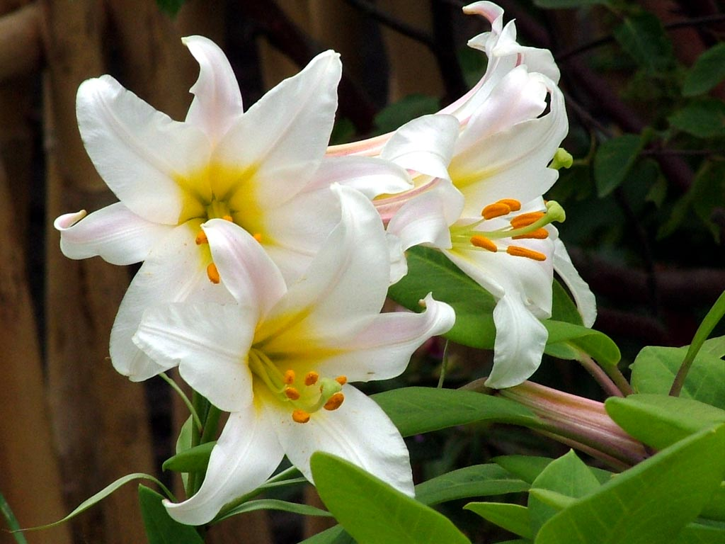 White lilies are excep...