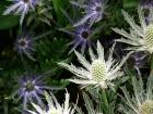 Alpine Sea Holly Eryngium