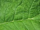 Green Leaf Veins