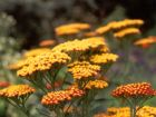 Orange Flower Achillea