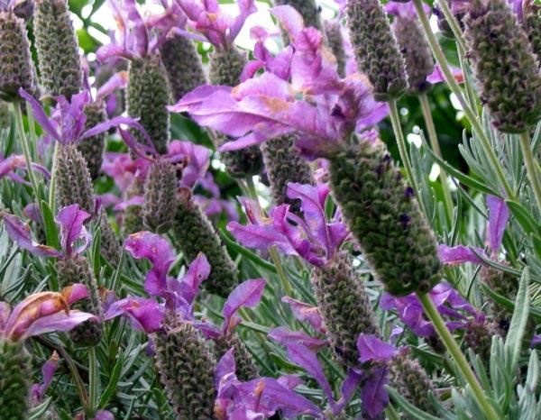 Bunga Lavender Cara alami mengusir nyamuk!