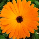 Annual Flower Calendula