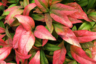 Autumn Colour Nandina