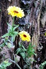 Calendula Tree Stump