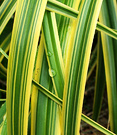 Carex Variegated Leaf