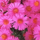 Colour Bright Pink Flowers
