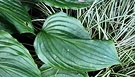 Colour Green Hosta Leaves