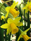 Daffodils Small Yellows