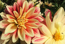 Dahlia Lemon Red
