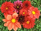 Dahlias Flowers Posy