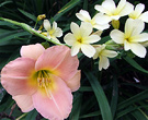 Daylily Pink Flowers
