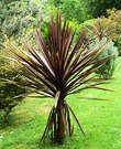 Dream Red Cordyline