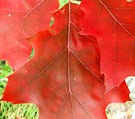 Fall Red Leaf