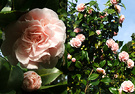 Flesh Pink Camellias