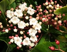 Flower Shrub Viburnum
