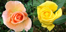 Friesia Apricot Rose