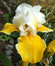 Iris Old Yellow