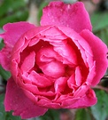 John Clare Winter Rose