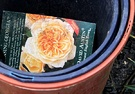 Label Orange Rose