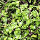Pittosporum Shiny