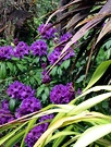Purple Rhododendron Flax