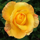 Recycle Rose Yellow