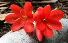 Red Autumn Lily