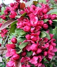 Red Crab Apple Blossom