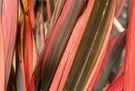 Red Flax Bush Stripes