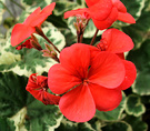 Red Flower Geranium